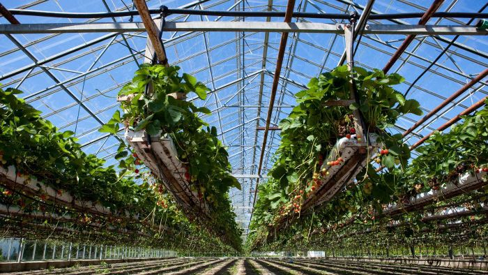 Can You Grow Strawberries in a Greenhouse?