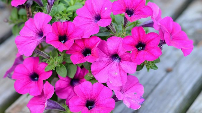 How Can You Grow Wave Petunias?