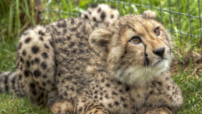 How Can You Keep a Cheetah As a Pet?
