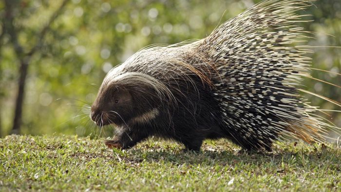 Can you keep a pet porcupine?