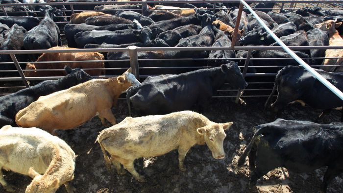 Where Can You Find the Latest Market Prices of Beef for Livestock Dealers?