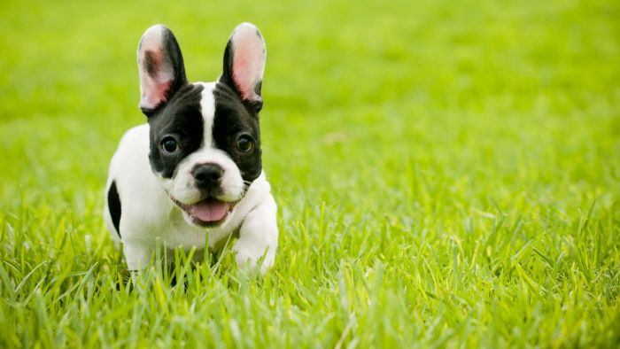 Where Can You Find Mini French Bulldogs for Sale?