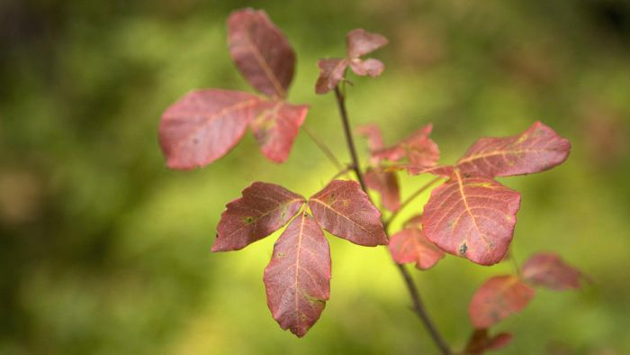 Where Can You Find Photos of Poison Oak Rash?
