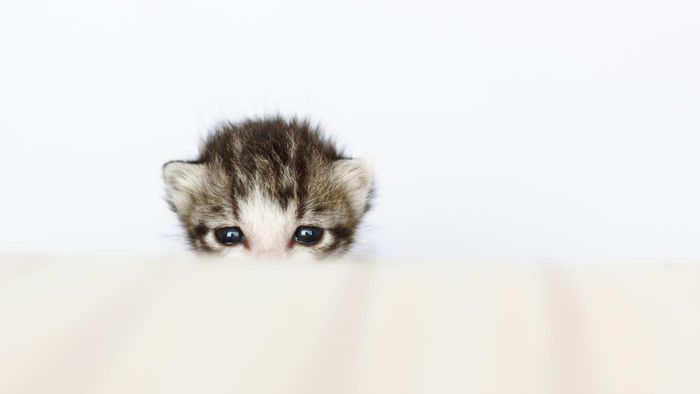 Where can you find places that have tabby kittens for adoption?