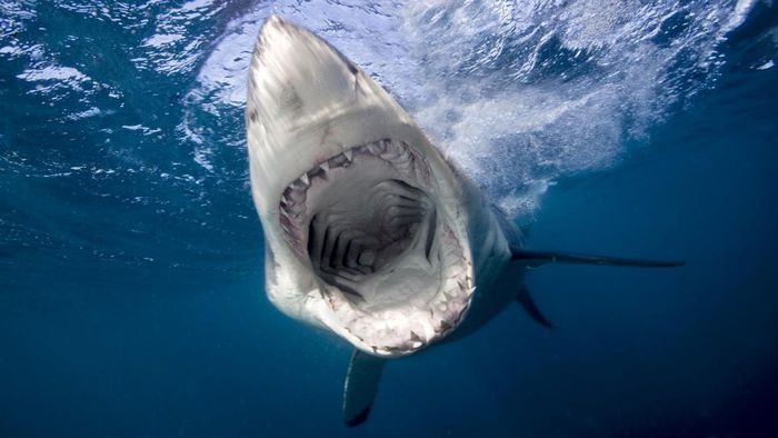 Where Can You Find Reputable Information About the Great White Shark?