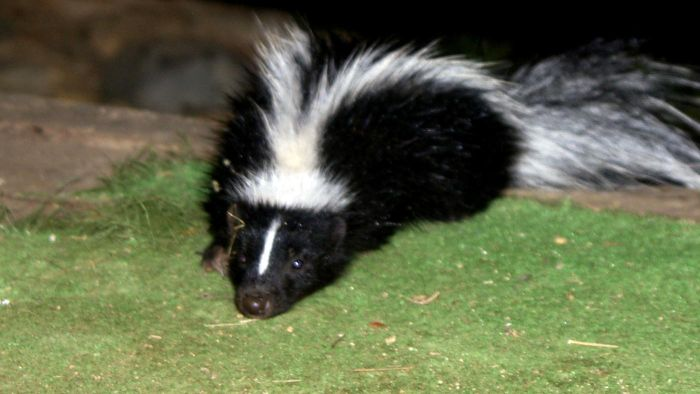 How often can a skunk spray?
