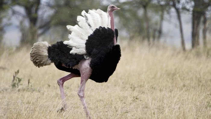 Why Can't Ostriches Fly?