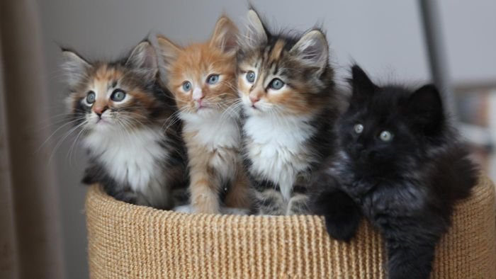 How Can You Tell Which Kittens Are Long Haired?