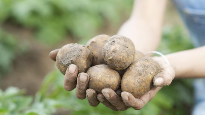 How Can You Tell When Your Potatoes Are Ready to Dig?