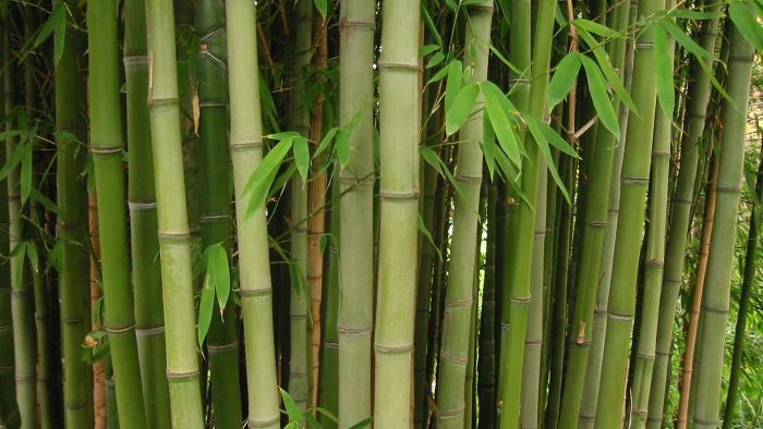 Can You Transplant Bamboo?