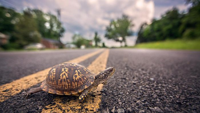 Can Turtles Flip Themselves Over?