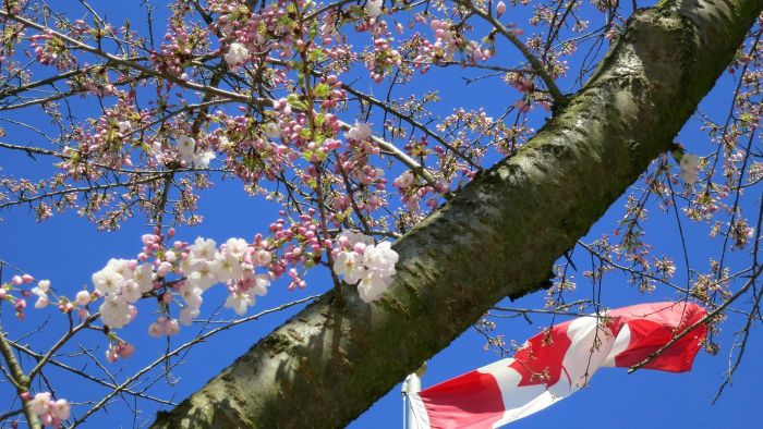 What Is a Canadian Cherry Tree?