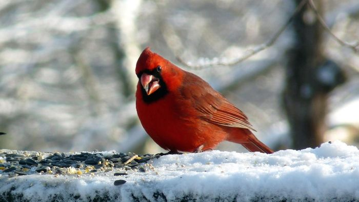 What Do Cardinals Eat?