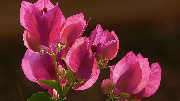 How Do You Care for a Bougainvillea?