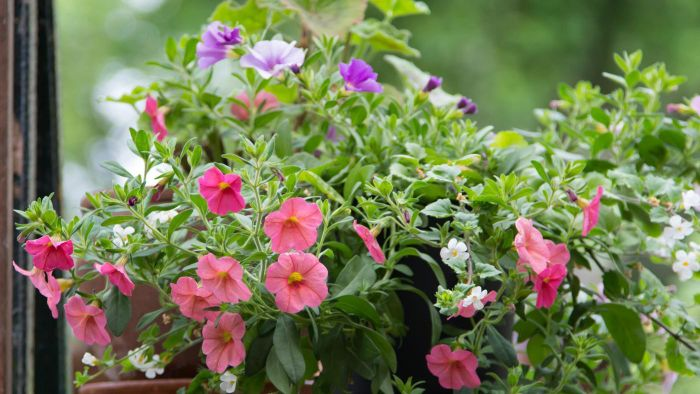 How do you care for calibrachoa million bells?