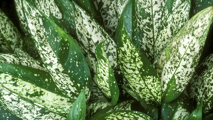 How Do You Care for a Chinese Evergreen Plant?