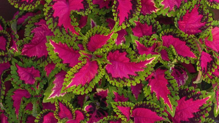 How Do I Care for the Coleus Plant?