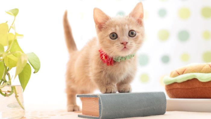 What Are the Care Guidelines for Munchkin Kittens?
