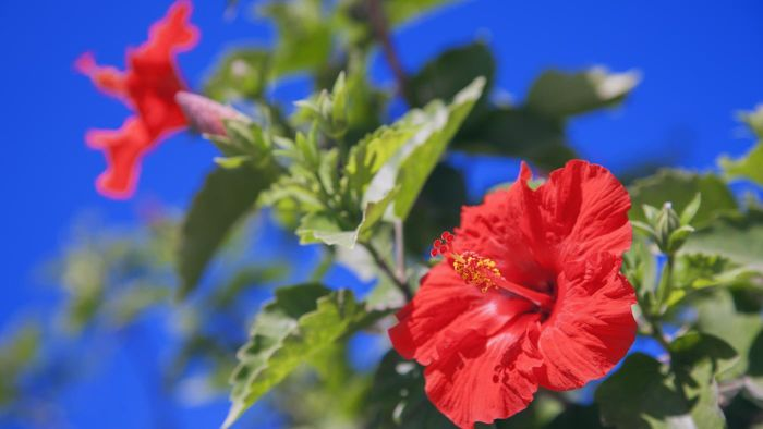 How Do You Care for a Hibiscus Plant in Winter?