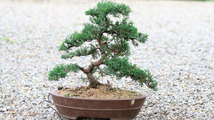How do you care for a juniper bonsai tree?