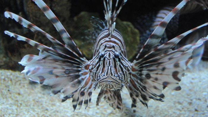 How Do You Care for a Lionfish?