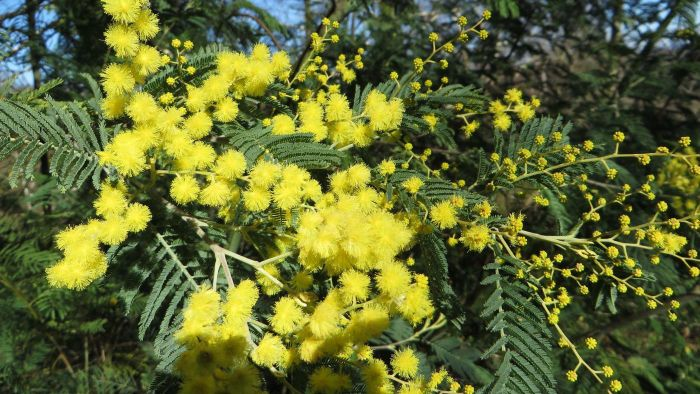 How Do You Care for a New Sensitive Mimosa Plant?