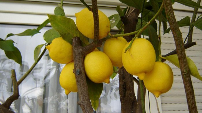 How Do You Care for a Potted Lemon Tree?