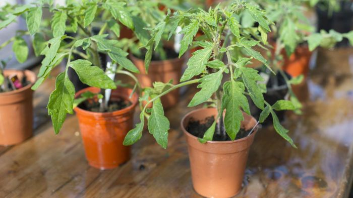 How Do You Care for Potted Tomato Plants?