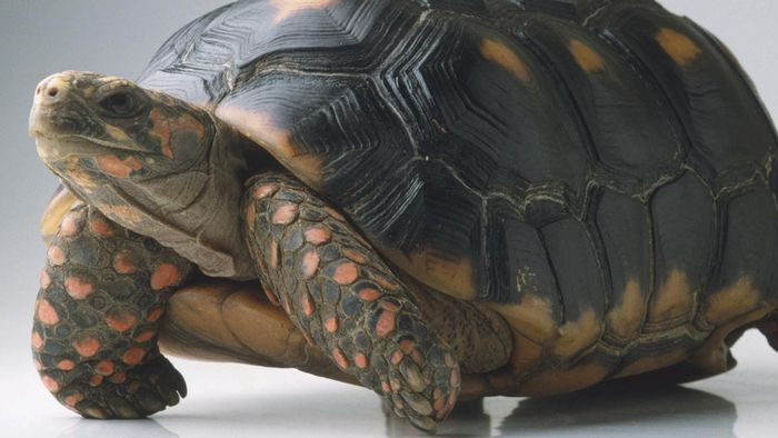 How Do You Care for a Red-Footed Tortoise?