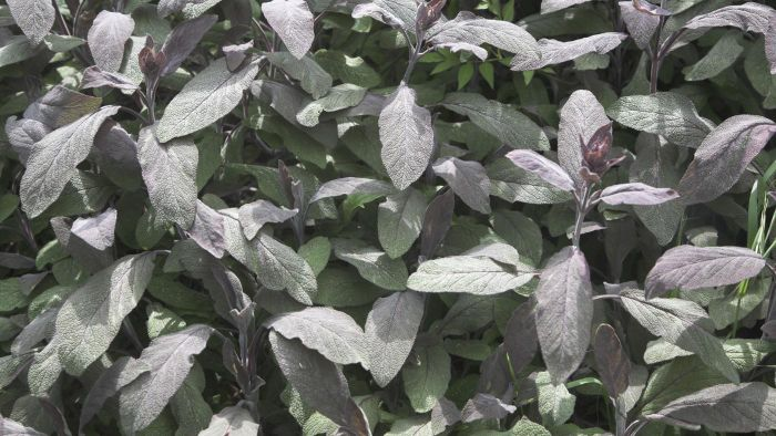 How do you take care of a sage plant?