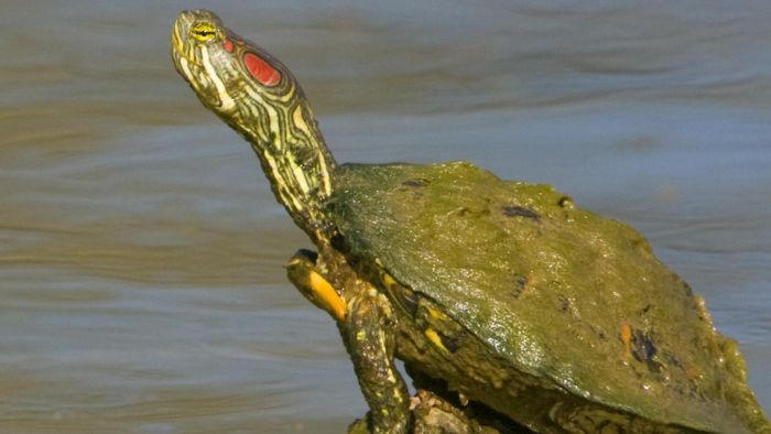 How Do You Take Care of a Southern Painted Turtle?