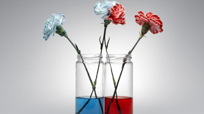 Do Carnations Change Color in Colored Water?