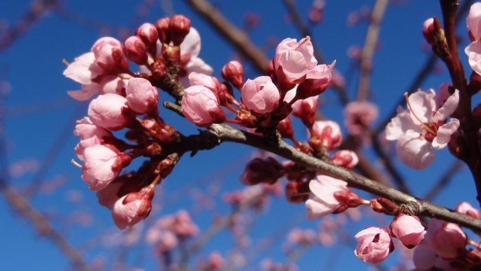 What Is a Carolina Cherry Tree?
