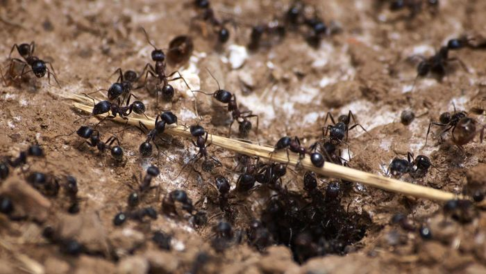 What are carpenter ants?