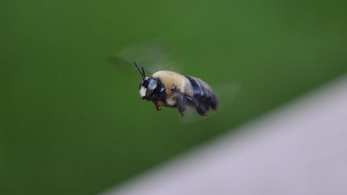 Do Carpenter Bees Build Nests?