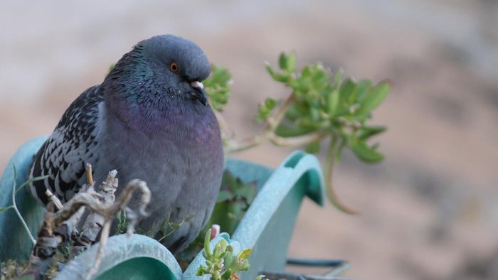 Are Carrier Pigeons Extinct?