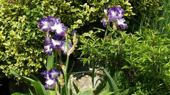 What causes a bearded iris not to bloom?