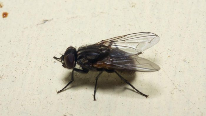 What causes a house fly infestation?