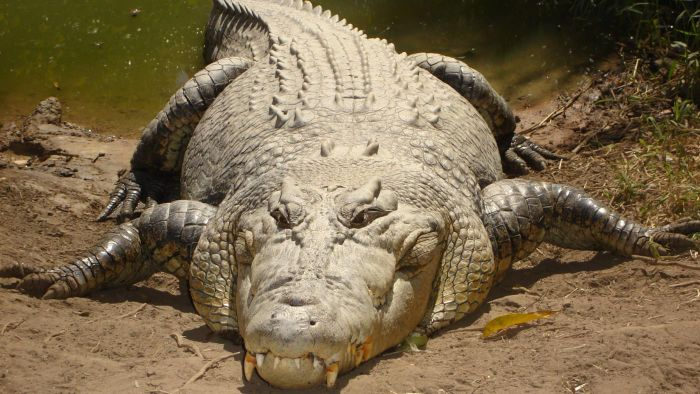 What are the characteristics of a crocodile?
