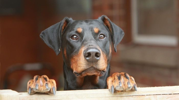 What Are Some Characteristics of a European Doberman?