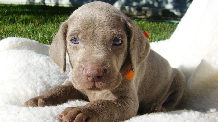 What are the characteristics of Weimaraner puppies?