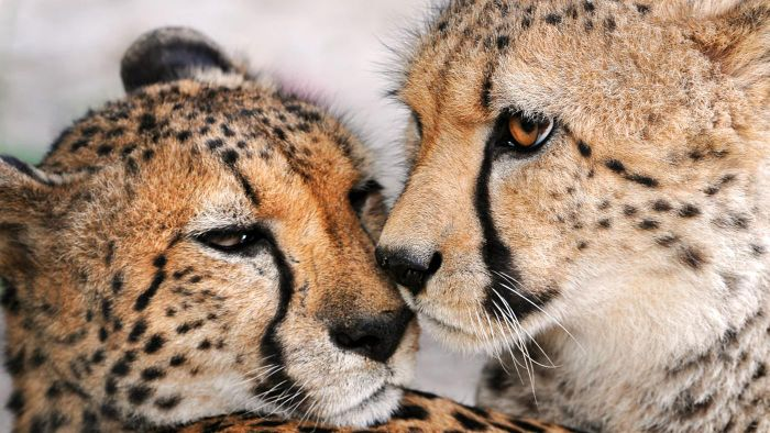 What Are Some Facts About Cheetahs for Kids?