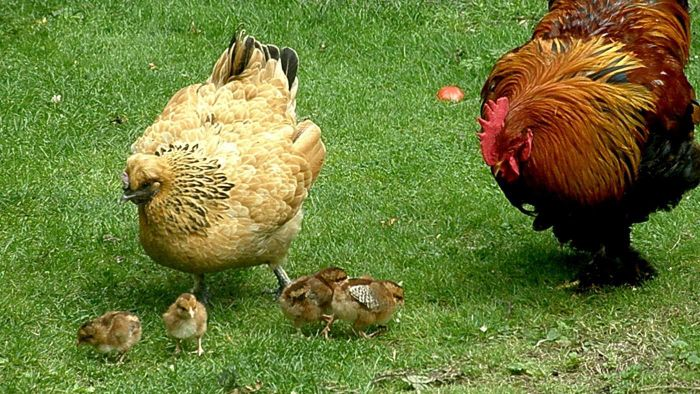 How Do Chickens Get Pregnant?