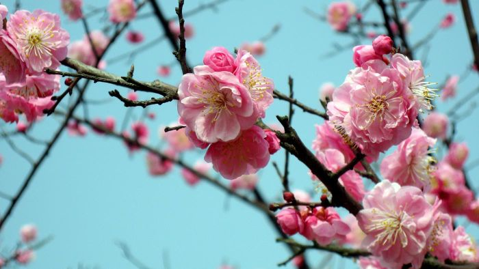 What Is a Chinese Plum Tree?