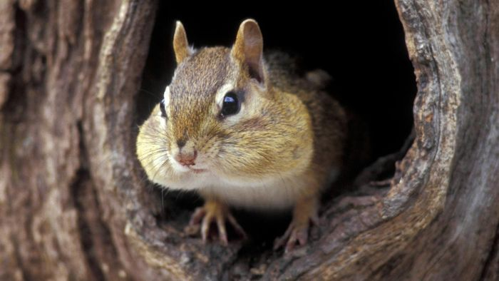 Where Do Chipmunks Live in the World?