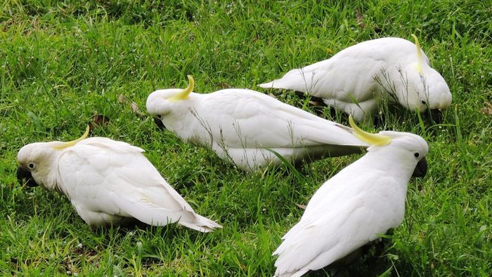 What Do Cockatoos Eat?
