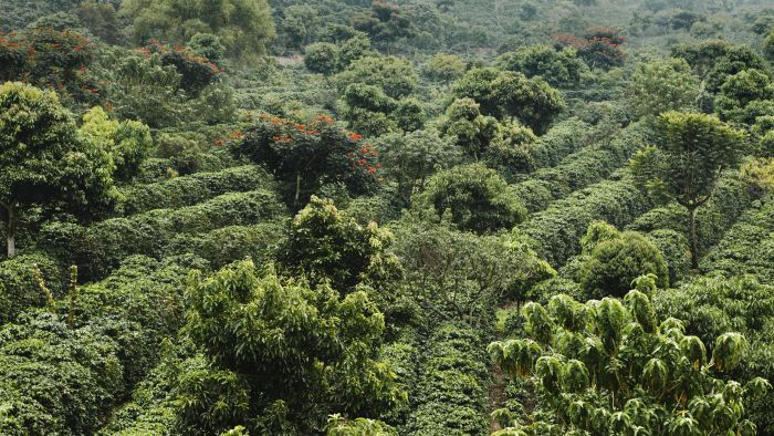 Where do coffee beans come from?