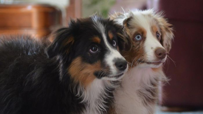 What Are Collie Mix Puppies?