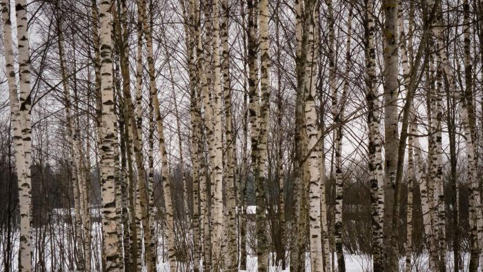 What Color Is Birch?