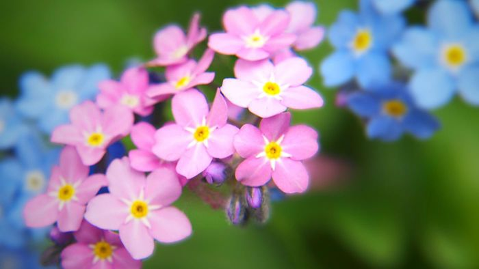 What Color Are Forget-Me-Nots?